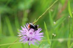 Bumblebeen en la flor Imagen de archivo