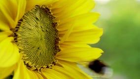 Bumblebees σε έναν ηλίανθο r φιλμ μικρού μήκους