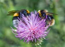 Bumblebees σε έναν κάρδο Στοκ Εικόνες
