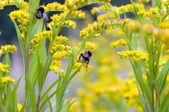 Bumblebees Royalty Free Stock Image