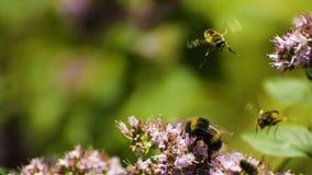 bumblebees Fotografia Royalty Free