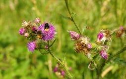 bumblebees Zdjęcia Stock