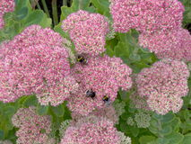 bumblebees Στοκ Φωτογραφίες