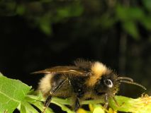 Bumblebees Royalty Free Stock Images