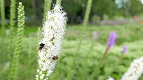Bumblebees collect nectar and pollen from white flowers. stock footage