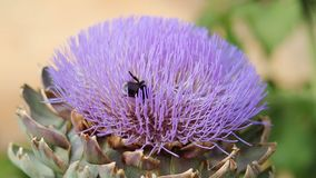 Bumblebees collecting pollen and nectar on flowers artichoke. Sunny day, light breeze.  stock footage