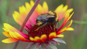 Bumblebees on a flower Gaillardia stock video footage