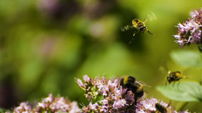 Bumblebees. Flying around in a garden Royalty Free Stock Photography