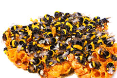 Bumblebees on honeycombs Stock Photo