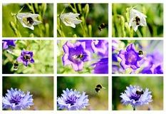 Bumblebees i kwiaty Obrazy Royalty Free