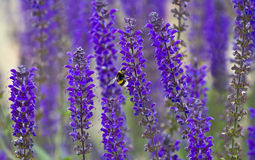 Bumblebees on Lavender flower. Bumblebees have longer tongues than honey bees  hence Lavender flowers attract more bumblebees than honey bees Stock Photography