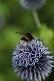 Bumblebees na Kula ziemska Osecie Fotografia Stock