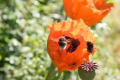 Bumblebees and poppy flowers Royalty Free Stock Images