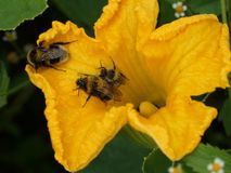 Bumblebees sit on a yellow pumpkin flower. royalty free stock images
