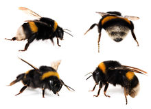 Bumblebees set Stock Photo