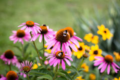Bumblebees sitting on colorful flowers Royalty Free Stock Photos