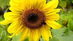 Bumblebees on the sunflower stock video
