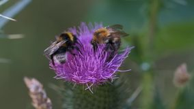 Bumblebees on a thistle. Collecting at nectar - macro shot stock video footage