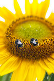 Bumblebees Stock Photos