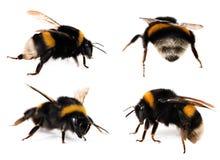 bumblebees ustawiający Zdjęcie Stock