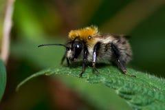 Bumblee pszczoła Obraz Royalty Free