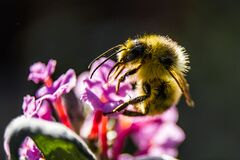 Bumbleebee on flower Royalty Free Stock Photography