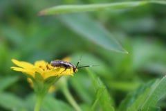 Bumbllebe sur la fleur jaune images stock