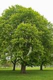 Bäume auf einem nebelhaften Morgen in einem Park, England Lizenzfreies Stockbild