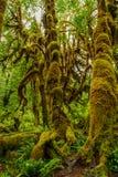 Bäume bedeckt mit Moos im Regenwald Stockfotografie