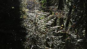 Bäume im Wald, Berg Abchasien stock video