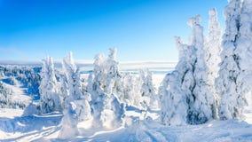 Bäume völlig bedeckt im Schnee und im Eis unter blauen Himmeln Lizenzfreie Stockfotos