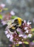 Bumle bi på en rosa blomma Arkivfoto