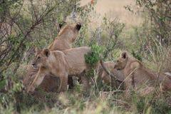 Bummelnde Löwen Lizenzfreies Stockbild