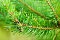Bump on the background of pine branches Stock Photo