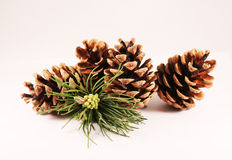 Bump. Big pine cone and a branch Stock Images