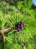 Bump. Conifer with cones on branches Royalty Free Stock Image