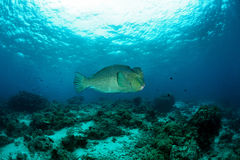 Bump-head parrot fish swimming Royalty Free Stock Photo