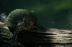 Bump on a log. A red eared pond slider sits atop a log. there is sunlight on the log and a bit of shade over the turtle. the green water is blurred in the Royalty Free Stock Image