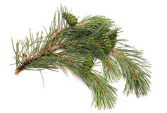 Bump on a pine branch, green Stock Images