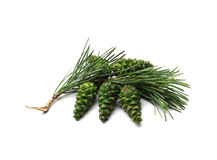 Bump on a pine branch, green Royalty Free Stock Image