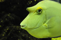 Bumped yellow fish Stock Images