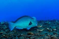 Bumphead-Papageienfisch Stockfotos