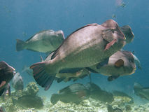 Bumphead Parrotfish. School of Bumphead Parrotfish on the reef Royalty Free Stock Images