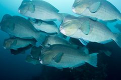 Bumphead Parrotfish Royalty Free Stock Image