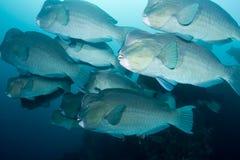 Bumphead Parrotfish Royalty Free Stock Image