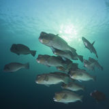 Bumphead Parrotfish Royalty Free Stock Photos