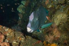 Bumphead parrotfish Royaltyfri Bild