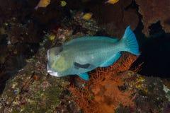 Bumphead parrotfish Royaltyfri Fotografi