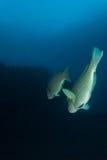 Bumphead parrotfish Arkivfoto