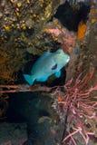 Bumphead parrotfish Royaltyfri Foto